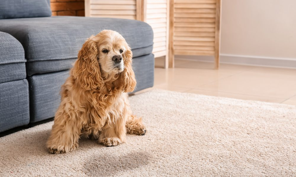 how to get dog urine smell out of the carpet