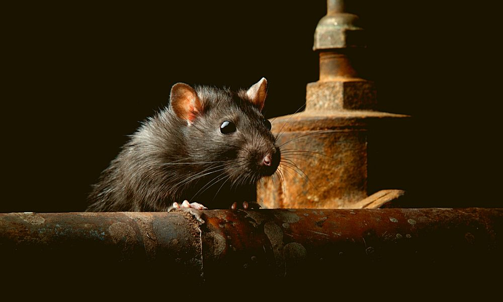 how to stop rats climbing drain pipes